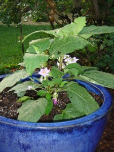Fairy Tale eggplant in a pot
